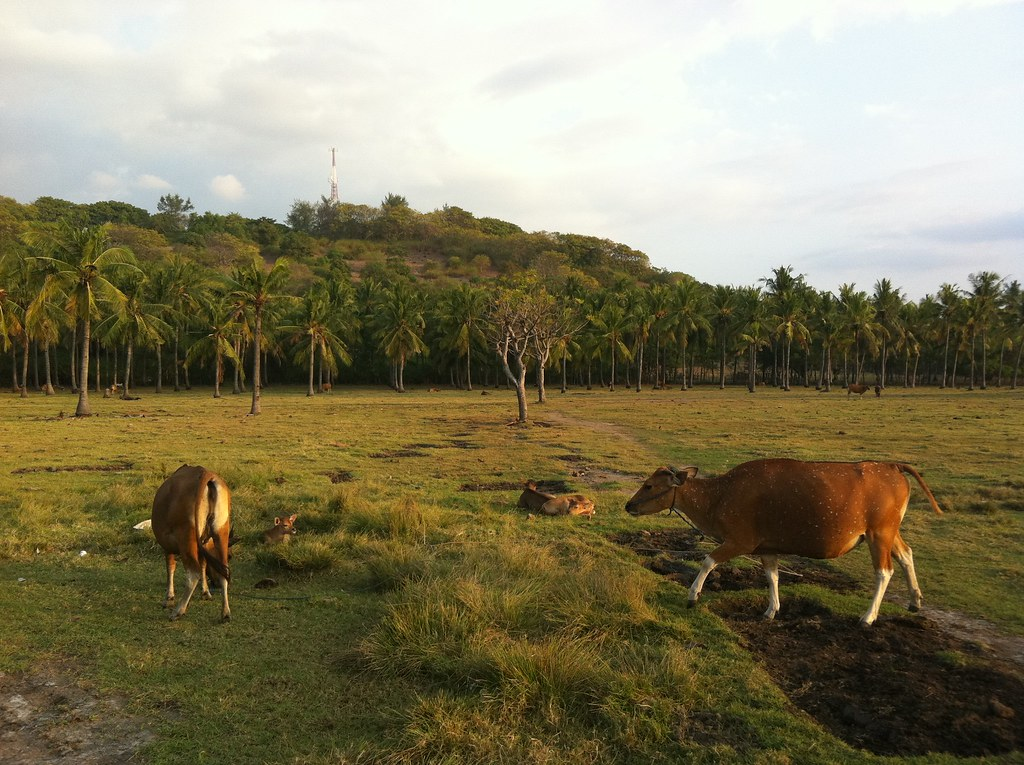 Cows in the interior, Gili Trawangan, Lombok, Indonesia