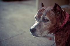 Shana (Pupilux) Tags: portrait dog chien voigtlander pitbull panasonic american hold vieux 25mm f09 gf1 thelittledoglaughed ldlportraits