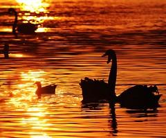 Pr-do-sol no Parque do Ibirapuera (Icaro Limaverde) Tags: park sunset brazil sun lake reflection silhouette duck nikon sigma prdosol pato ibirapuera 70200 silhueta d90 hsmii limaverde d7000