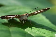 start-klar (yellobird) Tags: butterfly grn makro blatt schatten auge farfalla schmetterling nahaufname sommervogel