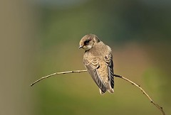 Sand Martin (athene1) Tags: suffolk perched migration birdwatcher bawdsey sandmartin ripariariparia specanimal