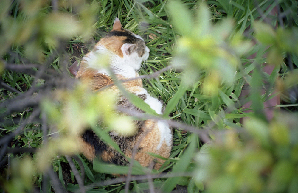 植え込みの中の猫