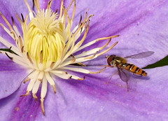 Hoverfly on Clematis (Mrs Audubon) Tags: summer food flower closeup fauna garden insect flora wildlife clematis british feed hoverfly