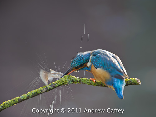 Kingfisher 20110819 0677 D-700.jpg