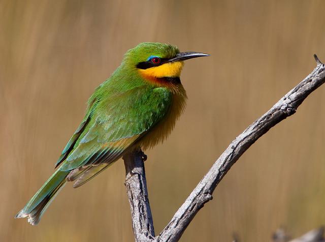 Abelharuco-dourado / Abelharuco-pequeno / Little bee-eater