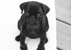 Little One (cydog66) Tags: dog blackwhite pug pugs sigma2870mmf28 canoneos40d