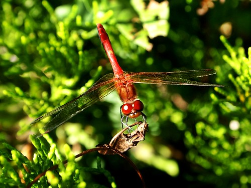 red dragonfly against green