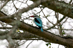 Woodland Kingfisher (Halcyon senegalensis) (cowyeow) Tags: africa blue tree bird woodland southafrica woods african wildlife birding halcyon safari kingfisher krugernationalpark kruger woodlandkingfisher halcyonsenegalensis senegalensis