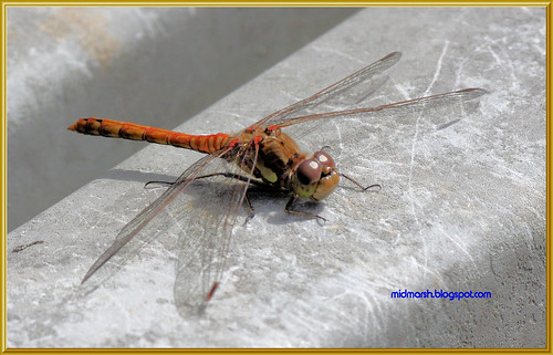 Common Darter Dragonfly 3