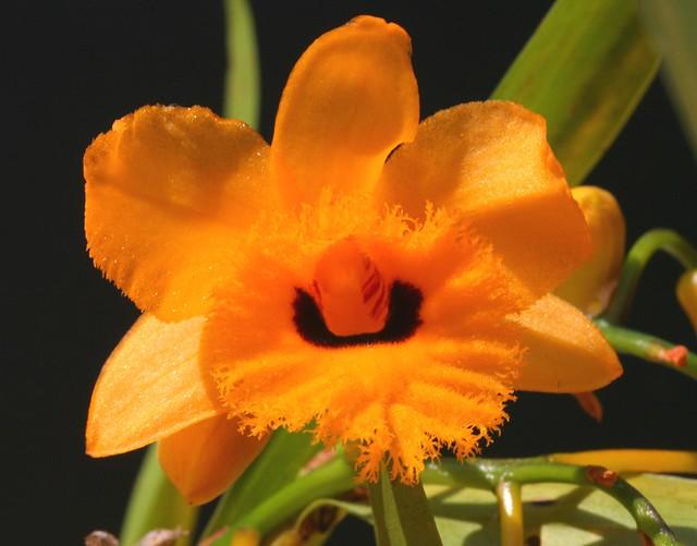 Dendrobium fimbriatum var oculatum 2011