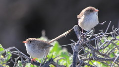 "Two ""Brown"" White-winged Fairy-wren (WA47) Tags: australia westernaustralia passeriformes burnsbeach malurus maluridae whitewingedfairywren malurusleucopterus malurusleucopterussspleuconotus"