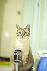 20110824__0192 (kenty_) Tags: cat ancient siamese gif