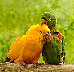 Cafun verde-amarelo / Affection in green and yellow  [ararajuba (Guaruba guarouba)] (Valcir Siqueira) Tags: birdsararajuba