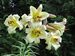 Lilium leucanthemum