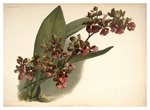019-Oncidium Lanceanum-Reichenbachia-Orchids illustrated and described..VolI I-1888-F.Sander