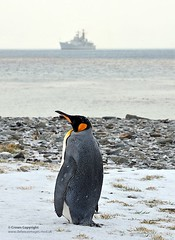 Penguin on South Georgia as HMS Edinbugh Passes By (Defence Images) Tags: uk snow bird beach penguin edinburgh ship wildlife military visit hampshire equipment destroyer portsmouth british southgeorgia grytviken defense defence royalnavy ddg type42 hmsedi