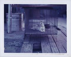 Little cat ( ) Tags: film polaroid type 195 669 packfilm gtx970