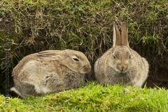Rambo would have fun with them :) (MalachyConey) Tags: nikon rabbits 70300m wwwmpcphotographycouk