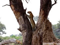 and up he goes (sole riley) Tags: africa male female safari leopard mating botswana impala catfight bigcats mombo legadema lebadi ngwenyama