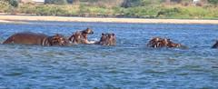 Yawning hippo (theo.matthews) Tags: africa river hippo hippopotamus zambia yawning zambezi
