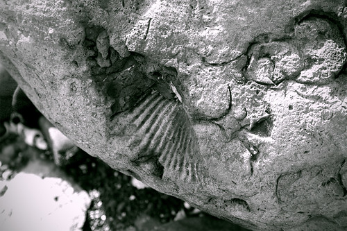 A fossil at Fossil Bay