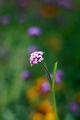 Teeny Tiny (Read2me) Tags: flower dof purple bokeh small cye challengegamewinner friendlychallenges thechallengefactory herowinner superherochallengewinner pregamesweepwinner gamesweepwinner pregameduelwinner