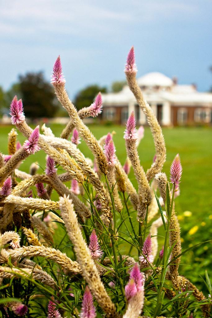 Celosia in Monticello Garden