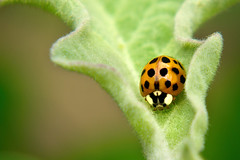 Lady Bird (Lady bug) - Beneficial Insect