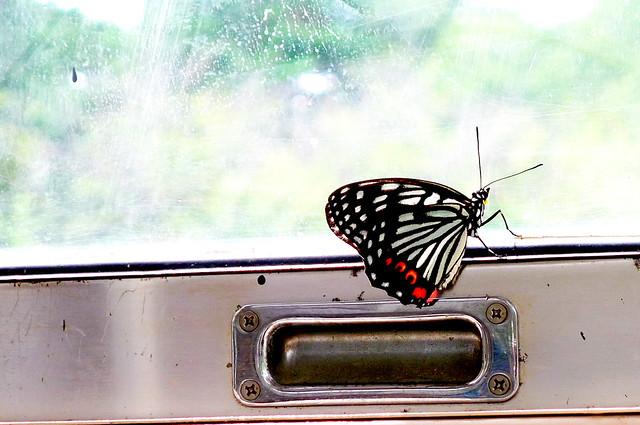 バスの中のアカボシマダラ@江戸東京たてもの園