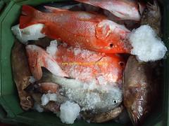 201106227 (fymac@live.com) Tags: mackerel fishing redsnapper shimano pancing angling daiwa tenggiri sarawaktourism sarawakfishing malaysiafishing borneotour malaysiaangling jiggingmaster