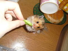 Gimme (jellybaby86) Tags: pet cute male fluffy hamster satin loved coward syrian longhaired dandydust