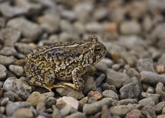 No One Toad Him About the Race (Chase Hoffman) Tags: summer color animals canon eos colorado dof bokeh amphibian boulder frog depthoffield telephoto toad gravel muddybuddy shallowdepthoffield shallowdof boulderreservoir canonef70200mmf4lusm 40d chasehoffman canoneos40d chasehoffmanphotography