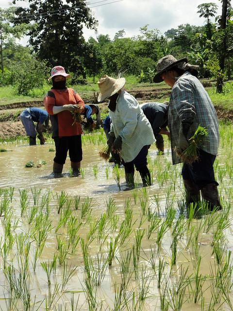 Thailand 7 planting rice
