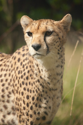 701/1000 - Cheetah by Mark Carline