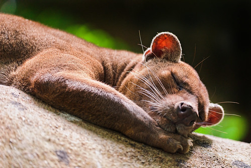 Cute sleeping fossa by Tambako the Jaguar, on Flickr