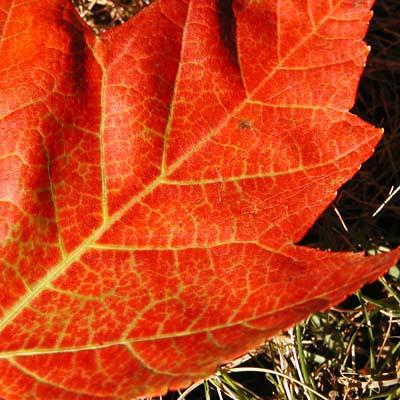 red-leaf