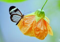 The Glasswinged (pallab seth) Tags: flower macro nature butterfly nikon ngc naturalhistorymuseum gettyimages nymphalidae 2011 macroextreme abutilonpictum gretaoto glasswinged ahqmacro tamronaf90mmf28dispam11macrolens blinkagain bestofblinkwinners pallabseth sensationalbutterflies sensationalbutterfliesexhibition blinksuperstar stunningphotogpin blinksuperstars translucentbutterflies butterflies