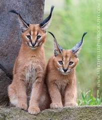 Caracal Kittens (Explore) (ArmanWerthPhotography) Tags: oregon zoo caracal caracalkittens
