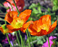 Poppies in Palm Springs (Colorado Sands) Tags: california flowers usa flores floral fleur america fleurs us unitedstates palmsprings american coachellavalley poppy poppies fiori amerika blommor westcoast bloemen californian kalifornien californie riversidecounty coquelicots orangepoppies californi sandraleidholdt  leidholdt sandyleidholdt