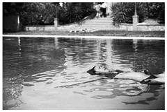 floating in pool (gorbot.) Tags: blackandwhite bw pool swimming f14 sicily roberta piazzaarmerina canoneos5d nikonfmount planar5014zf carlzeisszf50mmplanarf14 eosadaptor agriturismogigliotto