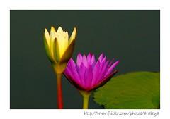 In Harmony (Araleya) Tags: leica two plant nature thailand colorful asia southeastasia panasonic together zen ayuthaya minimalism waterlilly fz50 aquaticplant araleya wangnoi ดอกบัว บัวสาย