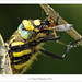 Golden-ringed Dragonfly ♂ Eating Meal