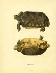 n53_w1150 (BioDivLibrary) Tags: smithsonian unitedstates libraries amphibians sil reptiles institution taxonomy:binomial=gopheruspolyphemus bhl:page=35765008 dc:identifier=httpbiodiversitylibraryorgpage35765008 taxonomy:binomial=testudopolyphemus