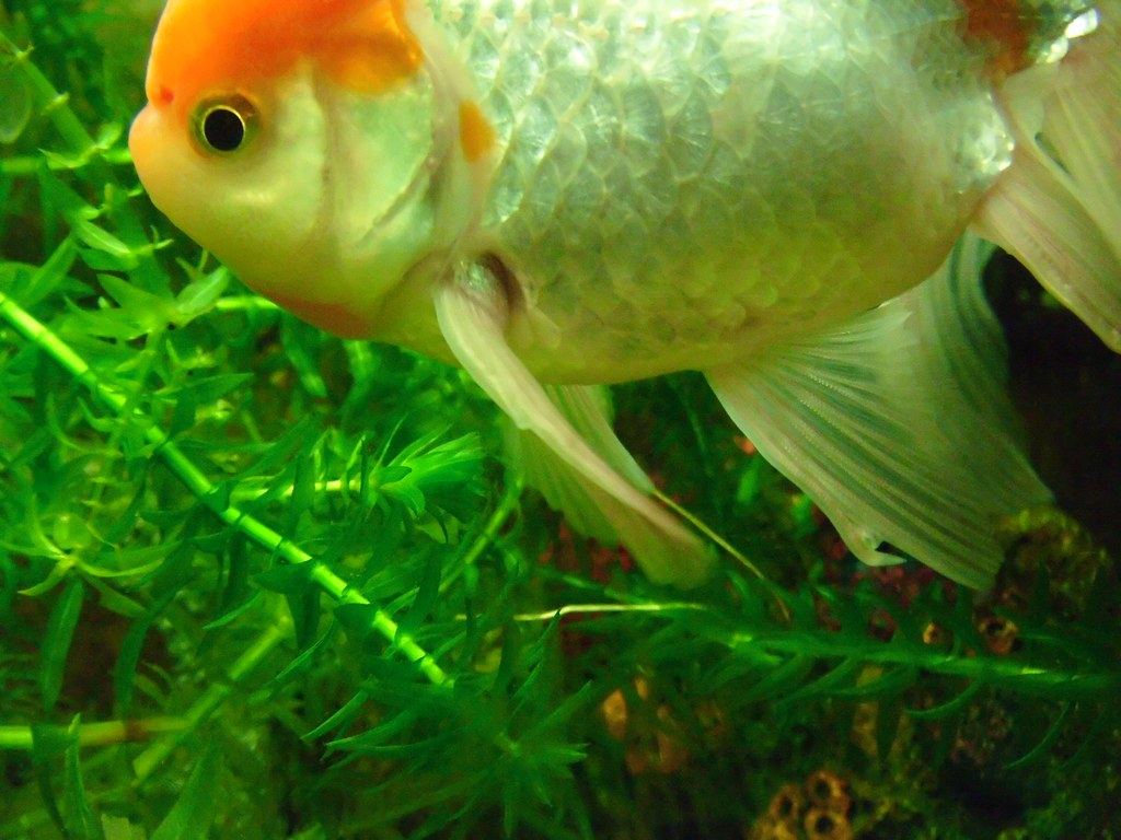 The world 39 s best photos of aquarium and oranda flickr Freshwater fish with red fins
