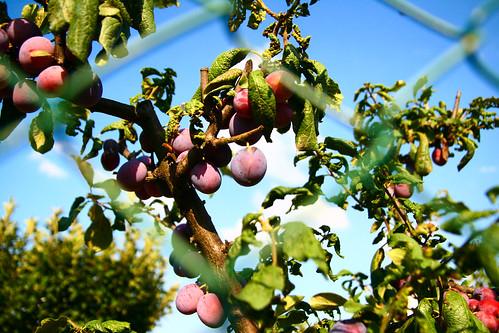 Grapes at Azienda Agricola Il Ciliegio in Tuscany