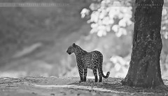 Indian Leopard (The Eternity Photography) Tags: wild blackandwhite bw india tourism nature monochrome animal forest canon relax mammal nationalpark asia wildlife safari leopard bigcat jungle predator panther 2009 sanctuary bnw wildlifesafari digitalphotography gamedrive madhyapradesh kanhatigerreserve carnivora kanha badrinath felidae centralindia supertelephoto supertele indiatourism wildlifephotography wildindia indianwildlife kanhanationalpark incredibleindia canonllens iloveindia savethetiger 40d canon600mm kanhawildlifesanctuary canoneos40d canon40d visitindia natureislovely indianleopard canonef600mmf4lisusm santanubanik theeternity savethewildlife flickrbigcats pantherapardusfusca madhyapradeshtourism     leopardinthewild badrinathkanha kanhatrip indianpanther iloveindianwildlife    wwwfrozenforeternitycom centralindiaforest