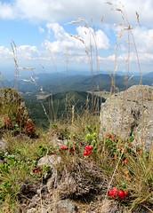 sziklabérc /  peak (debreczeniemoke) Tags: wild summer plant mountains fruit landscape view peak land transylvania transilvania lingonberry medicinalplant táj cowberry erdély preiselbeere nyár növény gyümölcs hegyek vacciniumvitisidaea kilátás bujor airellerouge afin gyógynövény mirtillorosso szekatura vörösáfonya fojminc havasimeggy canonpowershotsx20is sziklabérc coacăz vadontemő secătura merişor kövimálna merişordemunte afinroşu coacăzdemunte