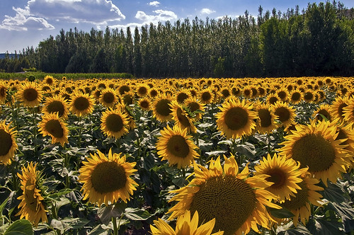 Tarde de girasoles - Evening of sunflowers by Marco Antonio Losas