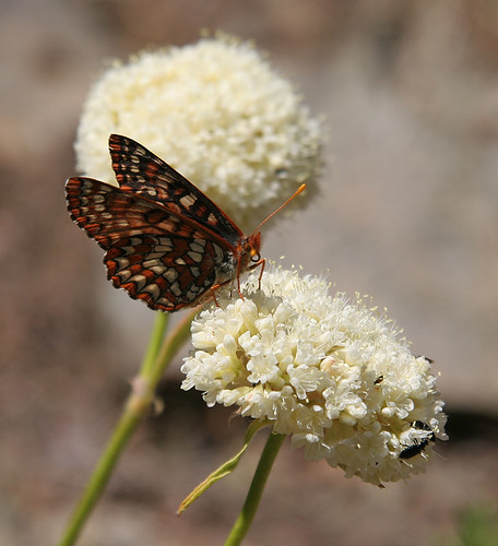 Butterfly on buckwheat