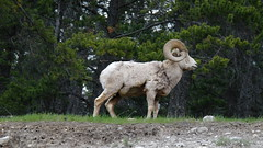 Wild Bighorn Sheep (biancamagalhaes) Tags: life wild canada animal banff